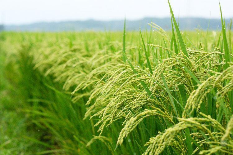 3 رقم جدید برنج تا انتها سال جاری معرفی می گردد